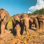 1 giornata con gli elefanti in Thailandia: perché scegliere Elephant Jungle Sanctuary a Chiang Mai